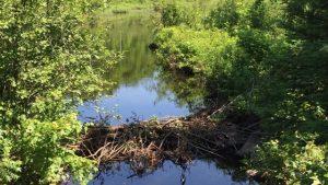 我が家の裏の湖に建設されたビーバーダム【ビーバーの習性と威力】